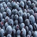 Blueberries Organic (6oz Clamshell)